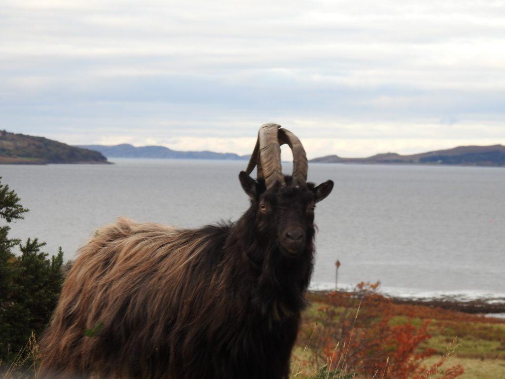 wild goat gairloch drive the professional traveller #theprofessionaltraveller