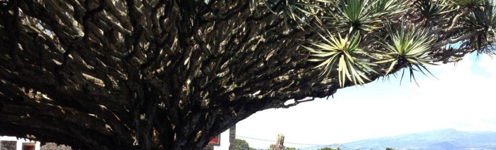 dragon treeazores holidays the coach holiday expert #thecoachholidayexpert
